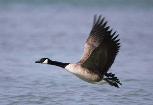 canada-goose-getty-images