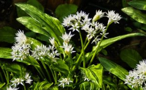 Wild Garlic for your travel apothecary